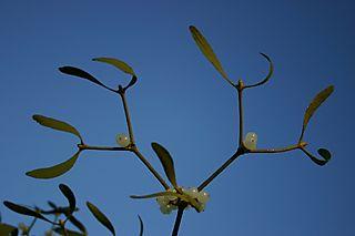 ReducedIMG_5135 Blue Sky mistletoe 2 Copyright Jonathan Briggs